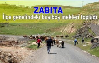 Zabıta İlçe genelindeki başıboş inekleri topladı