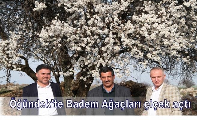 Öğündek'te Badem Ağaçları çiçek açtı