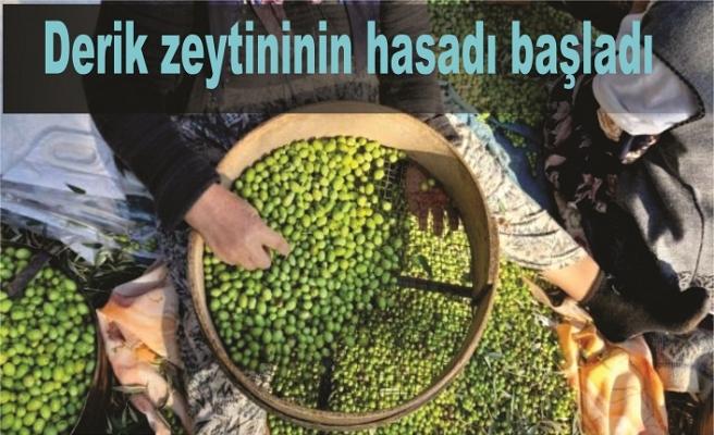 Derik zeytininin hasadı başladı