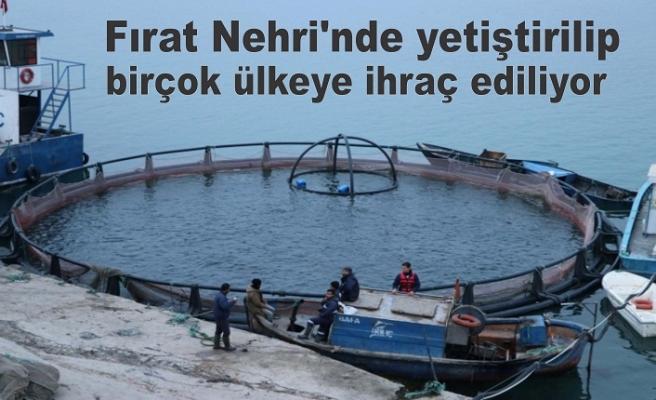 Fırat Nehri'nde yetiştirilip birçok ülkeye ihraç ediliyor