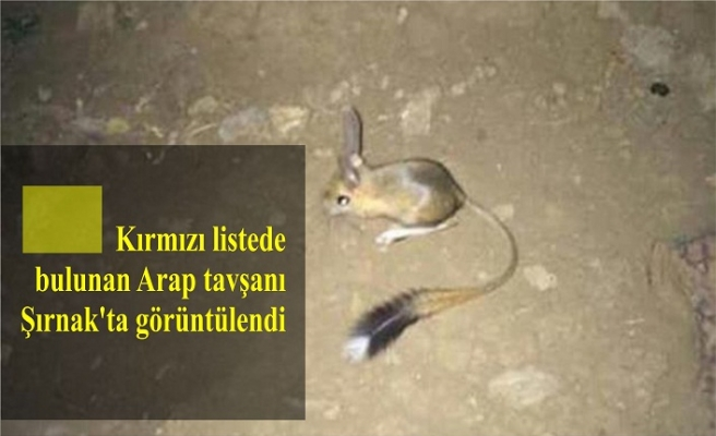 Kırmızı listede bulunan Arap tavşanı Şırnak'ta görüntülendi