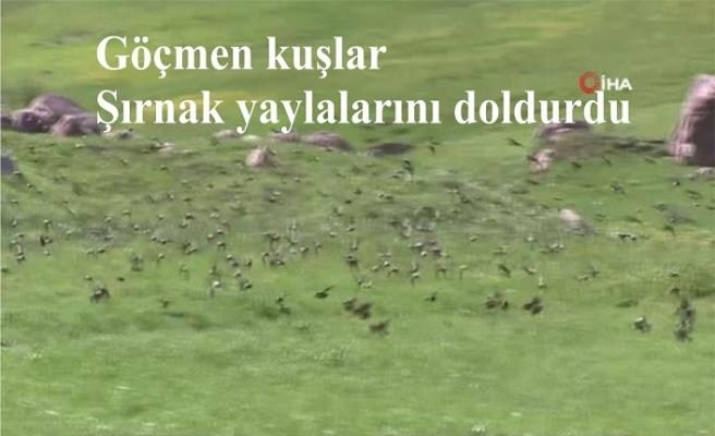 Göçmen kuşlar Şırnak yaylalarını doldurdu