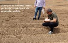 Mısır yerine alternatif olarak yer fıstığı yetiştirilmesi için çalışmalar başladı