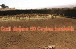 Cudi dağına 50 Ceylan bırakıldı