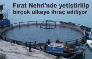 Fırat Nehri'nde yetiştirilip birçok ülkeye...