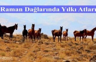 Raman Dağlarında Yılkı Atları