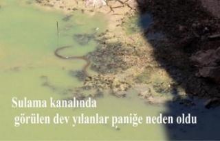 Sulama kanalında görülen dev yılanlar paniğe...