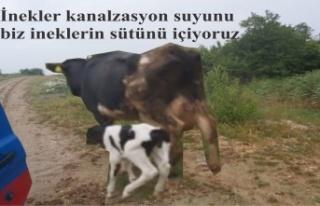 İnekler kanalzasyon suyunu, biz ineklerin sütünü...